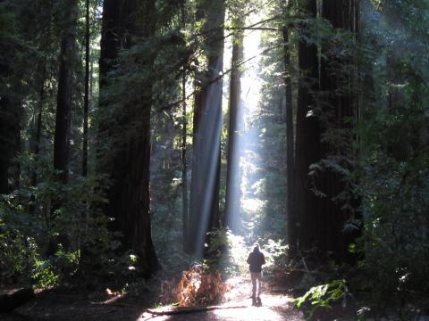 [Photo : Forêt de Sequoias Red Wood avec un promeneur]