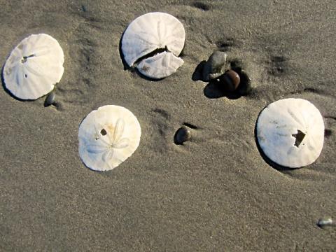 [Photo : coquillages Sand Dollars sur la plage]